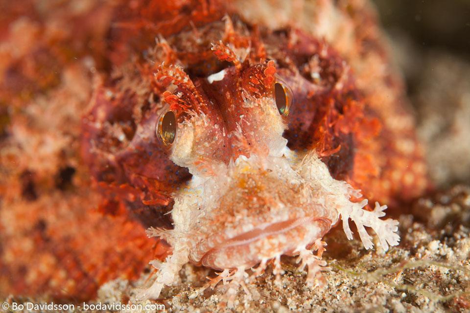 BD-110318-Puerto-Galera-3982-Scorpaenopsis-oxycephala-(Bleeker.-1849)-[Caledonian-devilfish].jpg